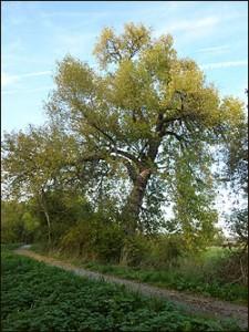 Black poplar tree